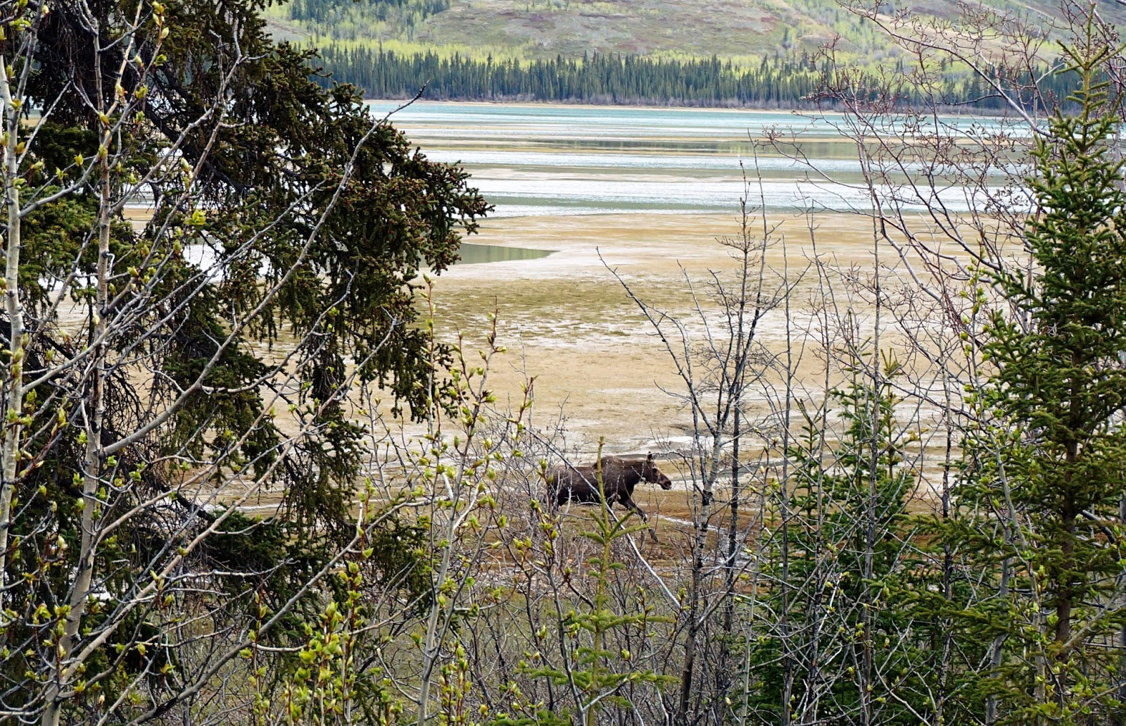 yukon moose alaskan cruise review