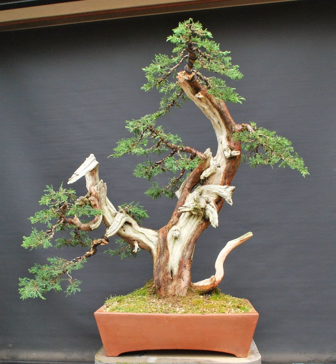 Leaf Brothers Grafted Juniper Snake Charmer Wiring Bonsai Tree So The Last Series Of Photos Shows Current State After Complete And Treating Dead Wood Live Veins