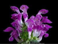 http://plantsgallery.blogspot.com/2015/02/mierznica-czarna-ballota-nigra.html