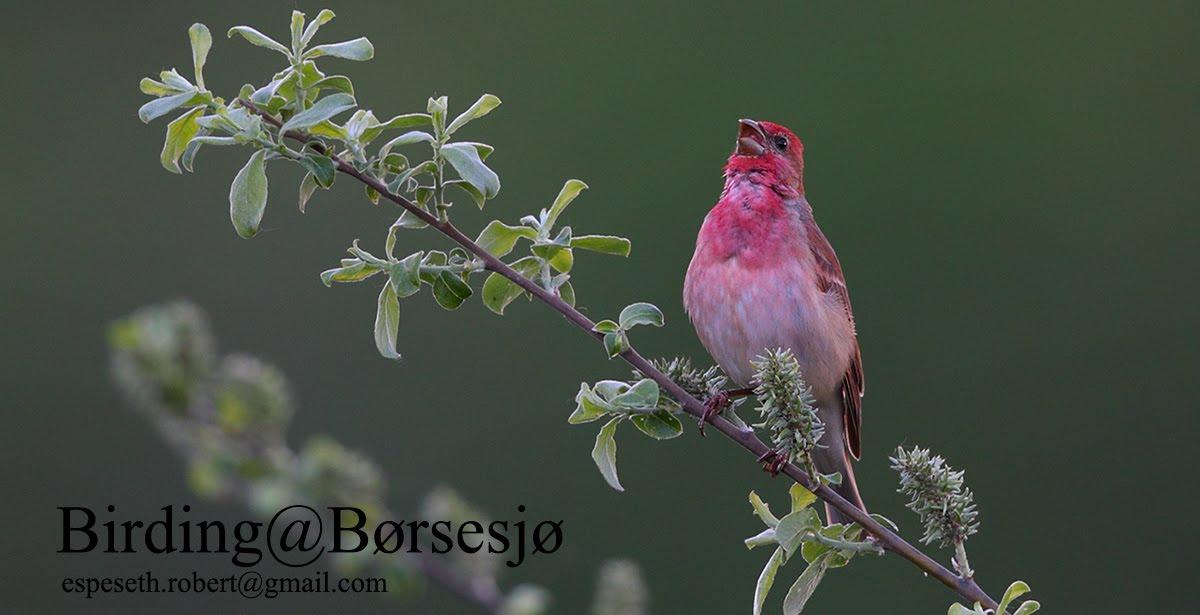 Birding@Børsesjø
