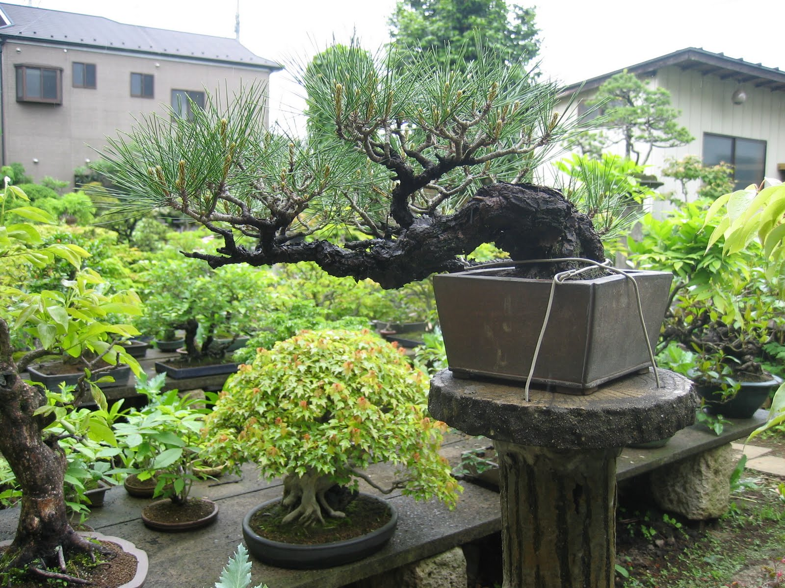 Matsu bonsai jardin de ma tre murata for Bonsai de jardin