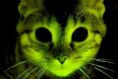 Gatos fluorescentes. CURIOSIDADES. CIENCIA. MEDICINA. inmunes al SIDA
