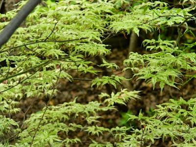 Ukigumo Japanese Maple Acer palmatum  spring foliage by garden muses-not another Toronto gardening blog