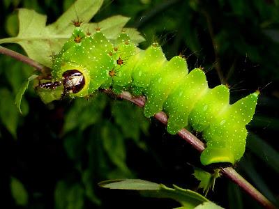 Actias isis caterpillar