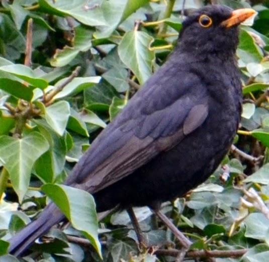 Black and white bird with orange beak name