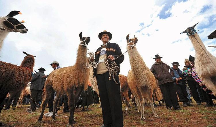 Resultado de imagen para BOLIVIA IMPULSA PRODUCCIÓN DE CAMÉLIDOS