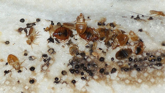 Can Bed Bugs Travel By Human To Another House