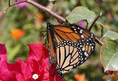 Buenas noches - Página 2 Fotos_mariposas_monarcas_se_reproducen_canarias_santa_catalina_