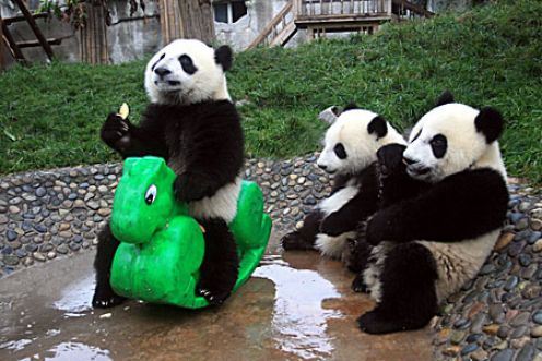 all funny cute cool and amazing animals funny panda images and