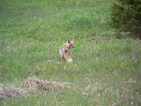Red Fox mousing a meadow