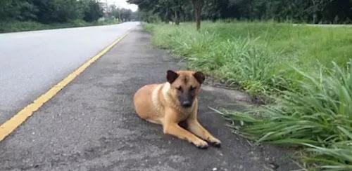 Cadelinha é morta após passar um ano esperando o retorno dos donos em estrada tailandesa