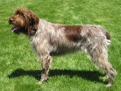 Wirehaired Pointing Griffon Dog Sales Preloved