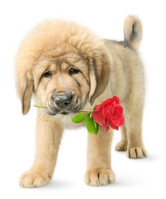 Perrito tibetano mastiff con rosa roja para el día del amor