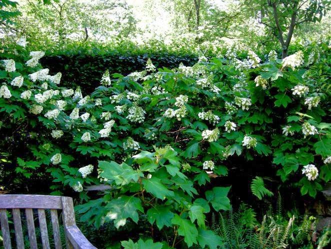 hrastolisna hortenzija