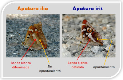 Apatura ilia y Apatura iris, reverso alar