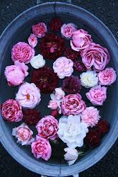 Årets rose i hagen min 2015
