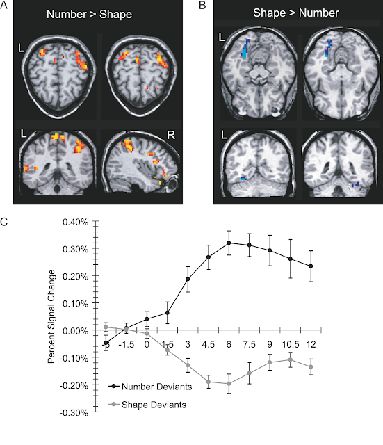 Adult Participant's fMRI Results: (A) Regions that were more active during the presentation of number compared to shape deviants. (B) Regions that were more active during the presentation of shape compared to number deviants. (C) Time course of activity (percent signal change) for number-selective (number - shape) regions in the IPS, averaged from individually-drawn functional regions of interest from the IPS, from 3 s pre-stimulus to 12 s post-stimulus.
