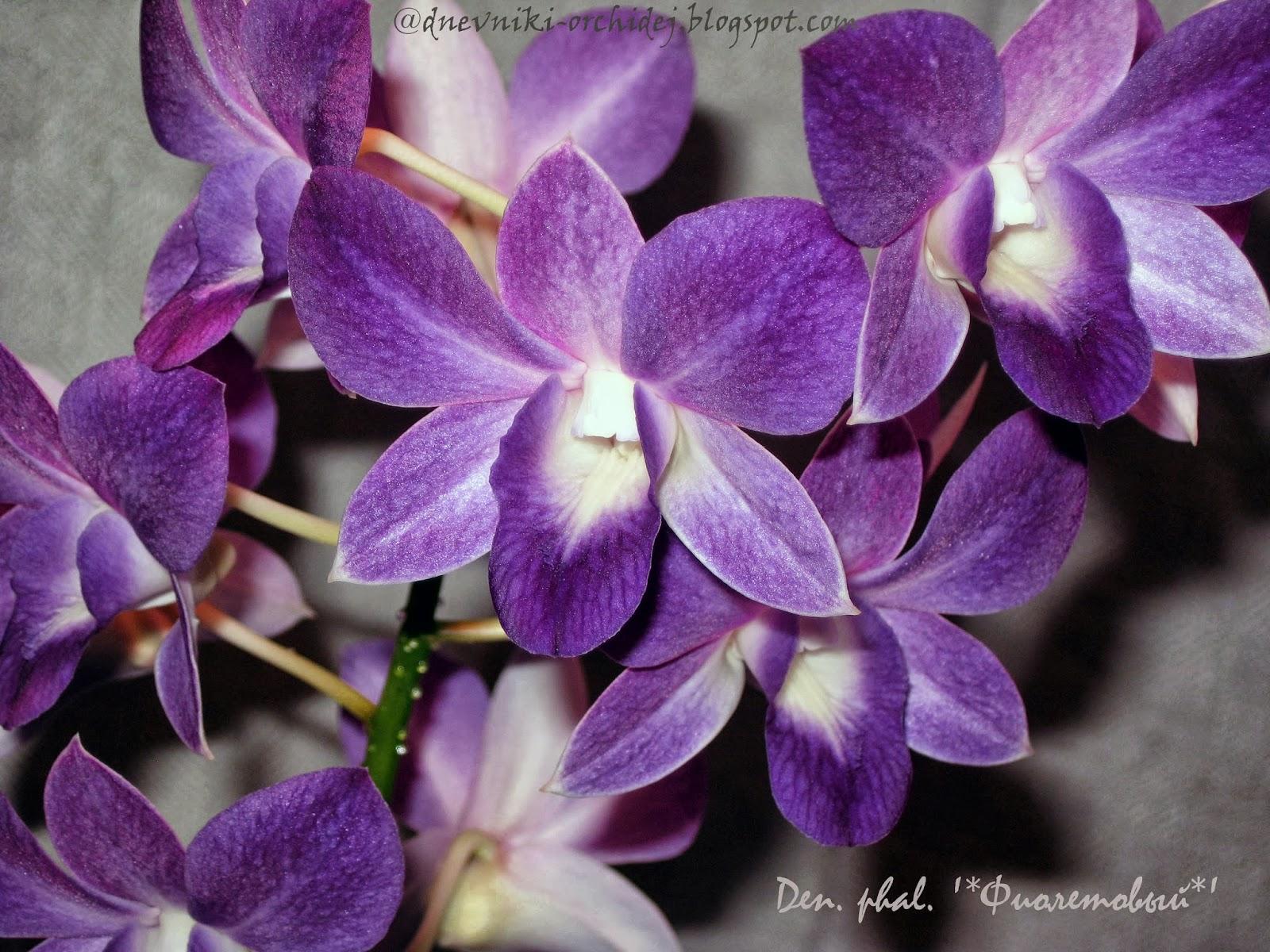 Красота цветов дендробиума фаленопсиса Фиолетового