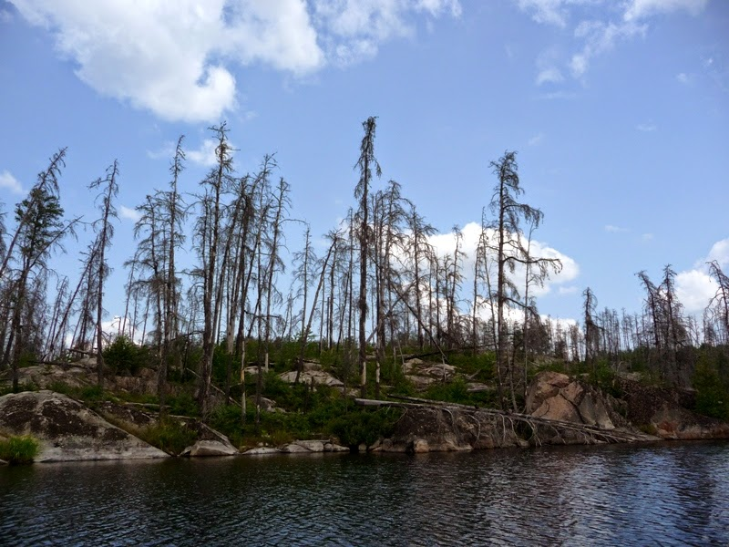 fires sweep the BWCAW, leaving standing dead sentinels