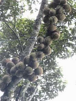 Pertumbuhan Durian yang telah menggunakan Produk Organik NASA