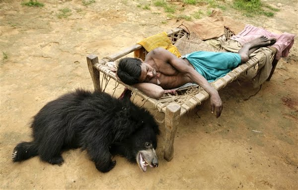 Sloth bear pet in India, sleeping Buddu