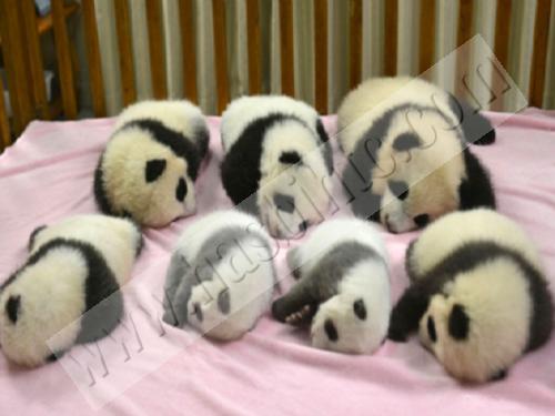 Anak Panda Imut