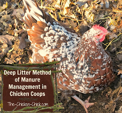 Deep litter is a method of chicken waste management that calls for droppings and bedding material to compost inside the chicken coop instead of being cleaned out and replaced regularly.