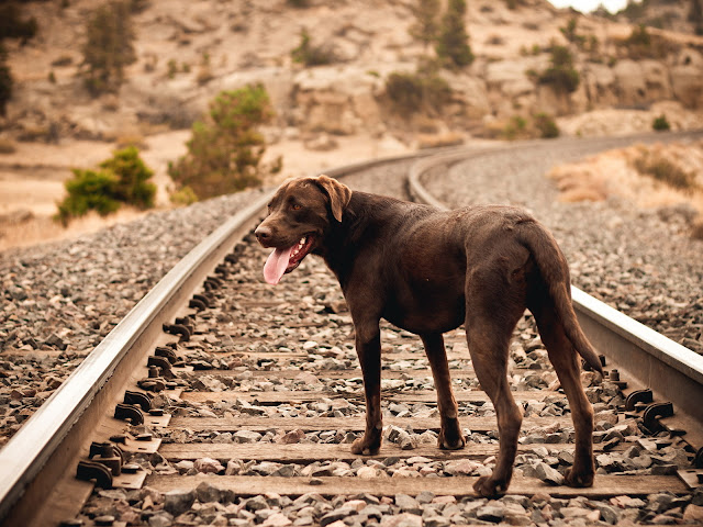 Dog on Railway HD Wallpaper