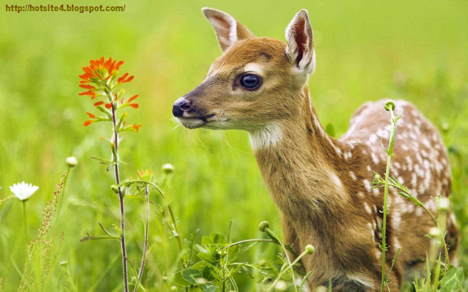 baby whitetail fawn in - photo #15