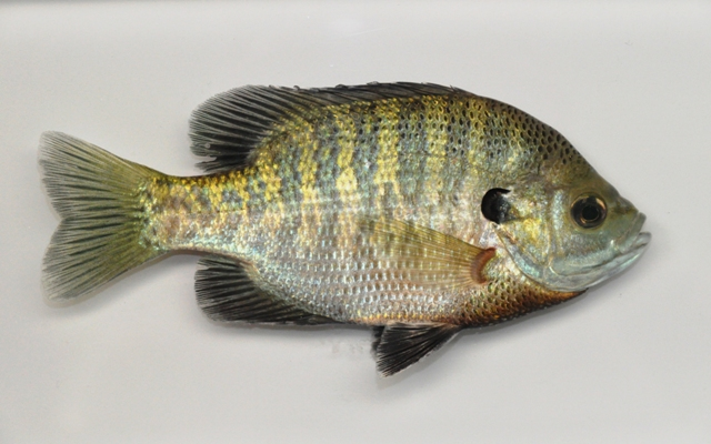 Survival Sage Blog: WHEN THE SHTF, FIND THESE FISH AND A TARP
