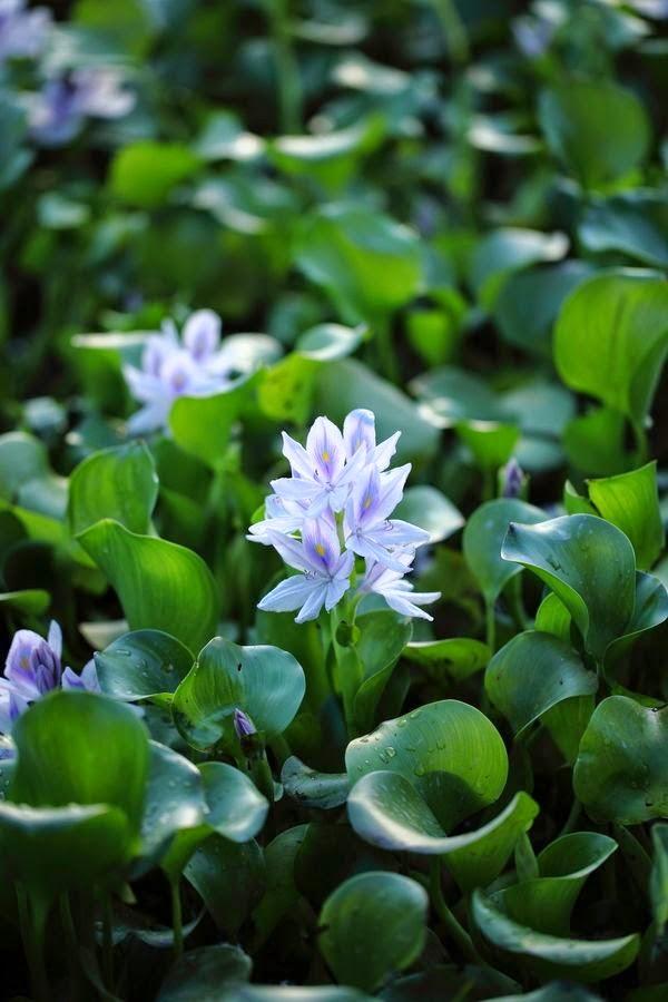 http://500px.com/photo/10556503/water-hyacinth-by-naoki-morizono