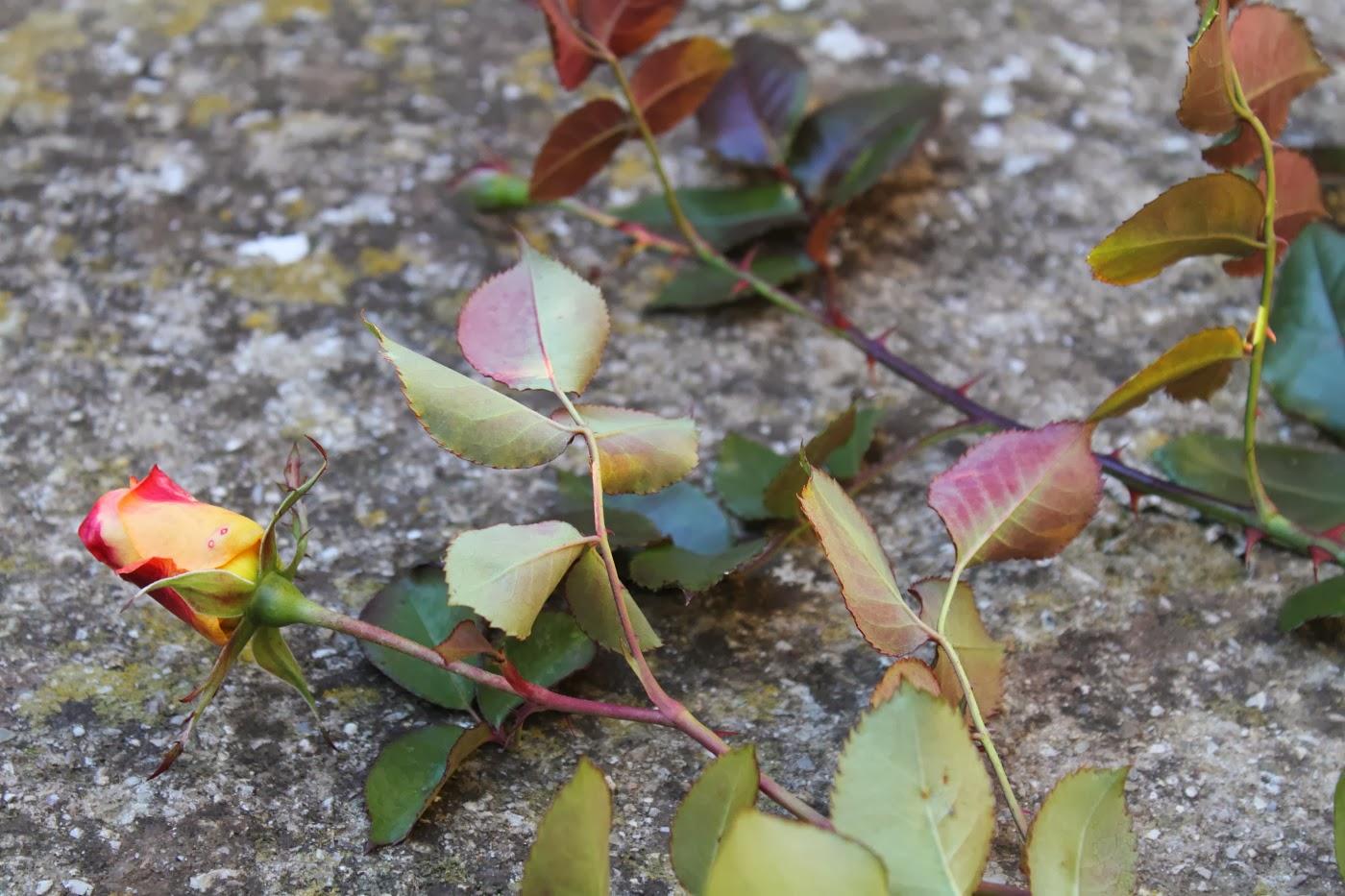 Maisonvive l arte di vivere la casa idee giardinaggio for Potatura delle rose