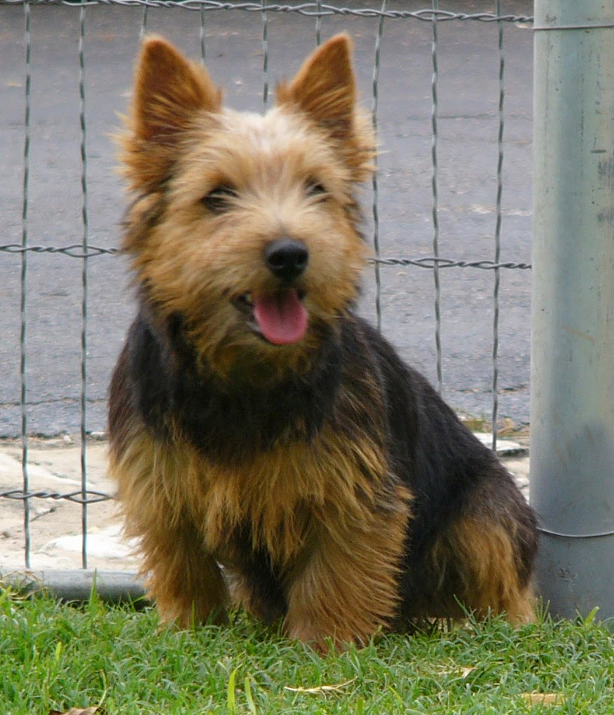 El Norwich Terrier