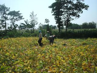 lahan kedelai di indonesia