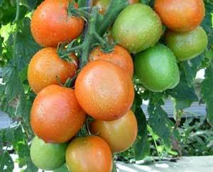 Cara budidaya tanaman Tomat dengan Teknologi Produk Organik NASA