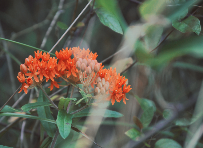 The Flying Clubhouse: The Woods at the Edge of the Meadow // orange butterfly weed