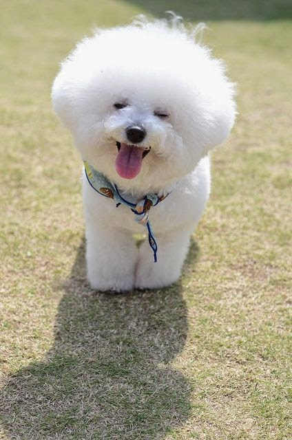 Cute Small Bichon Frise puppy