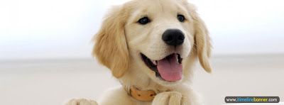 Golden Retriever Puppy Facebook Timeline Cover