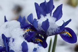 five easy winter flower bulbs for your gardengreenside up, Beautiful flower
