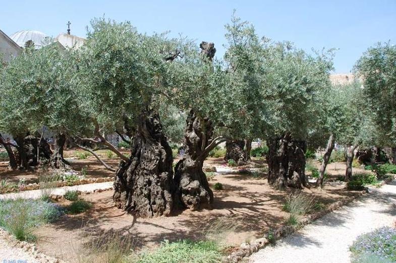 imagens do jardim getsemani: ser entregue nas mãos dos soldados romanos no Jardim do Getsêmani