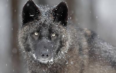 Black Wolf Taze Hd Masaüstü 2.013 Duvar Kağıtları