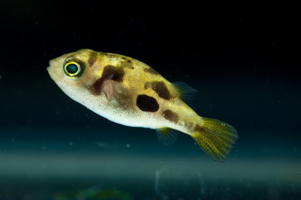 aquarium world puffer fish dwarf puffer