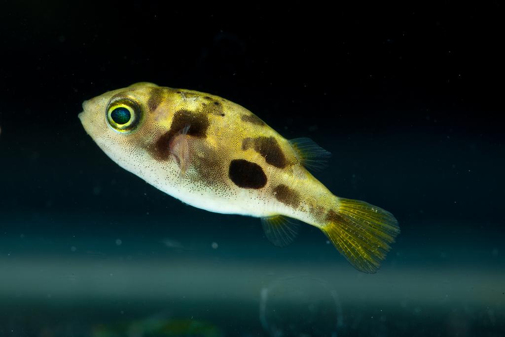 Aquarium world puffer fish dwarf puffer for Freshwater puffer fish care