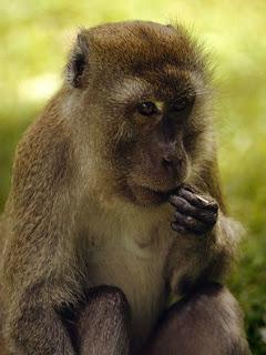 Foto Monyet Makan