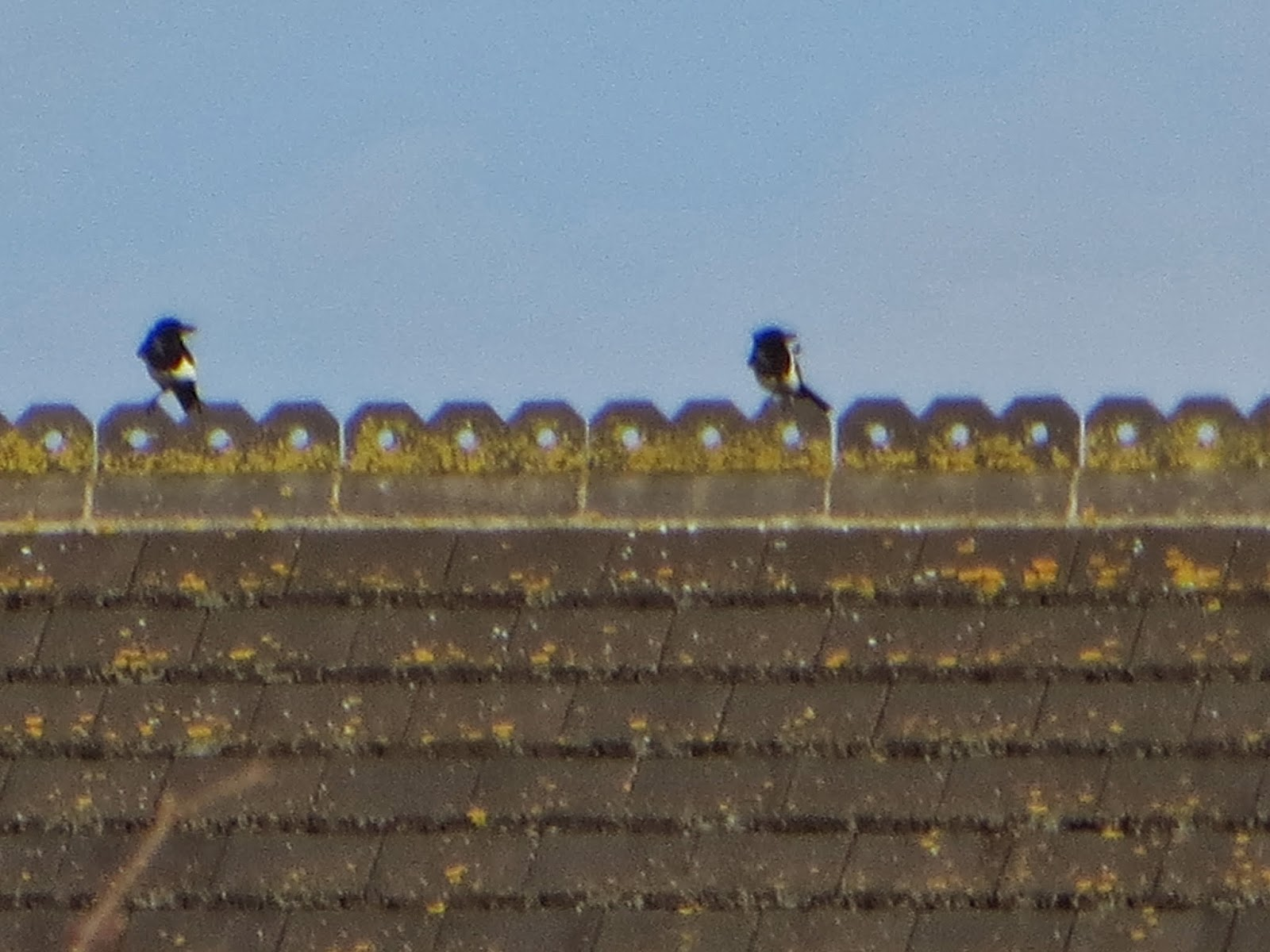 two magpies sitting sitting on a roof top.