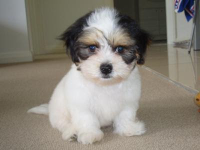 Cute Shih Tzu Puppy Pic