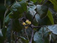 Jati Belanda ( Guazauma Ulmifolia )