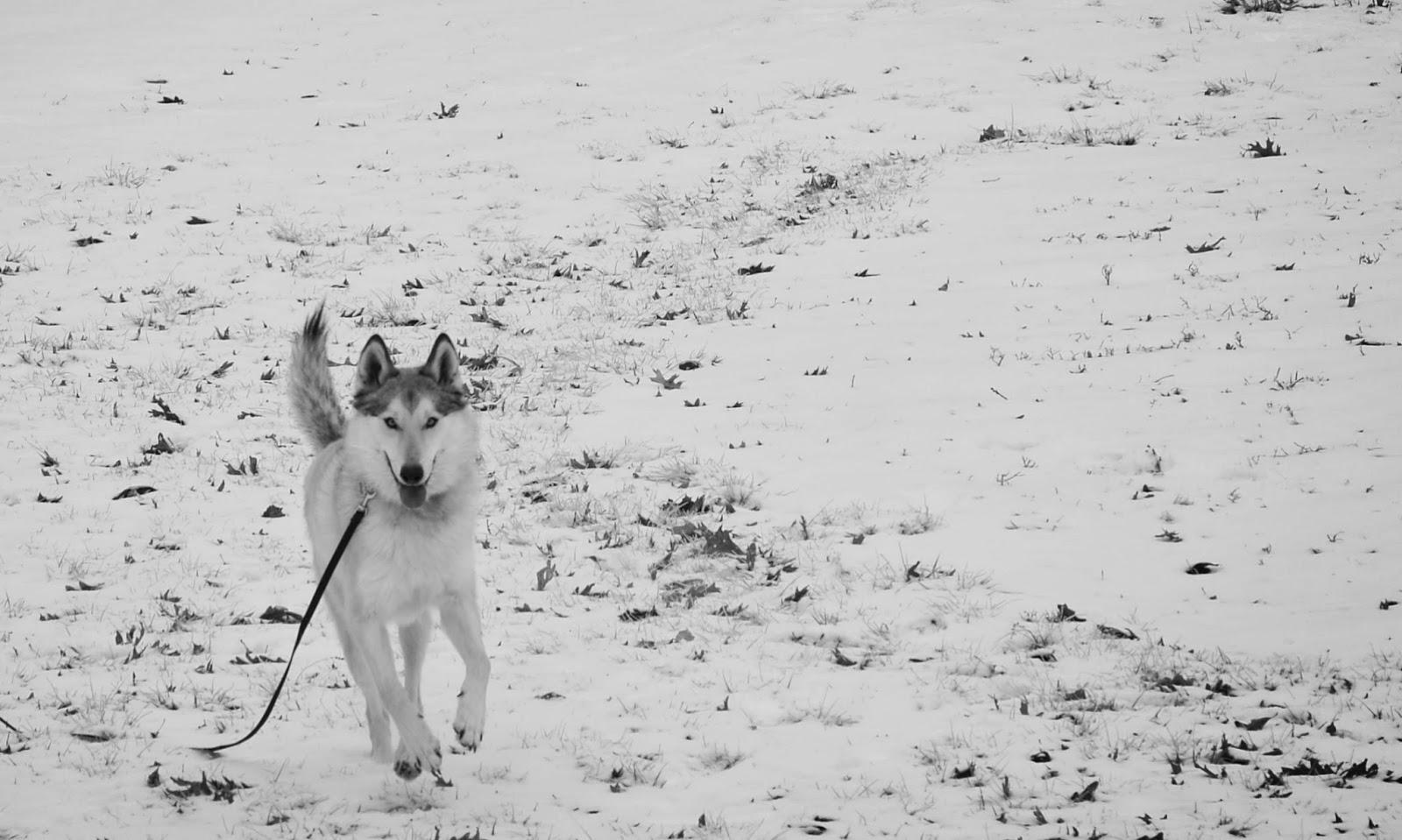 mid content wolfdog