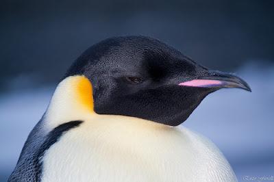 Hình ảnh đáng yêu của chim cánh cụt
