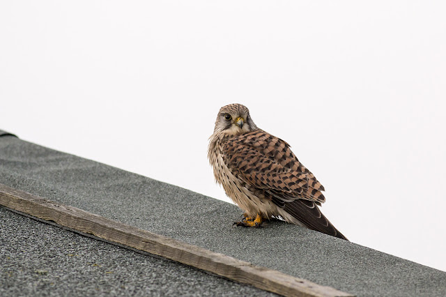 Female Kestrel - Leysdown-on-sea